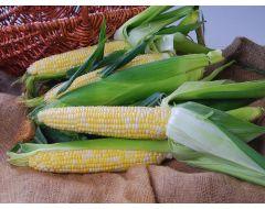 Nectar Synergystic (corn, hybrid, bicolor)
