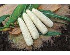 Gourmet Sweet™ Brand Freedom MXR (Corn/hybrid/white)