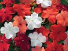 Xtreme Hot Mix (Impatiens)