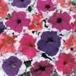 Blue Frost™ (Petunia/grandiflora)