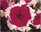 Cherry Frost™ (Petunia/grandiflora)