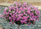 Shock Wave™ Pink Shades (Petunia/milliflora/pelleted)