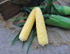 Gourmet Sweet™ Brand Vista XR (Corn/hybrid/yellow)