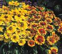 Gloriosa Daisy Mixed (Rudbeckia)
