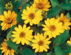 Profusion Yellow (Zinnia)
