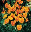 Penny™ Orange (Viola)