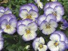 Penny™ Purple Picotee (Viola)