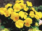 Penny™ Clear Yellow (Viola)