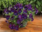 Wonderfall Purple/Blue Shades (Pansy)