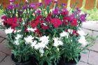 Supra Mix (Dianthus)