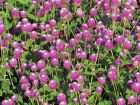 Audray Bicolor Rose (Gomphrena)
