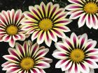 Big Kiss™ White Flame (Gazania)