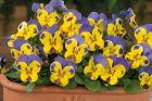 Sorbet XP Yellow Blue Jump Up (Viola)