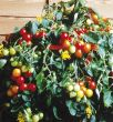 Tumbler Hybrid (Hybrid Cherry Tomato)