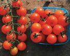 Sweet Orange TMV F (Hybrid Cherry Tomato)