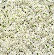 Wonderland White (Alyssum)