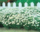 Snowland™ (Chrysanthemum)