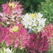 Mixed Colors (Cleome/tall)