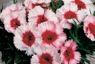 Super Parfait Strawberry (Dianthus)