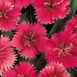 Ideal Select Raspberry (Dianthus)