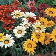 Kiss Mixture (Gazania)