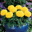 Antigua Yellow (Marigold/African)