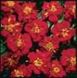 Safari Red (Marigold/French)