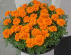 Chica Orange (Detailed Marigold)
