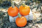 Cannon Ball (Hybrid Pumpkin)