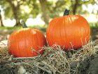 Magic Wand (Hybrid Pumpkin)