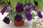 Ramblin'™ Nu Blue (Petunia/multiflora/pelleted)