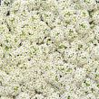 Wonderland White (Alyssum pellets)