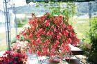 San Francisco (Hybrid Begonia Pellets)