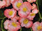 Sprint Plus Blush (Hybrid Begonia Pellets)