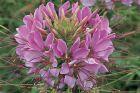 Sparkler Lavender (Cleome)