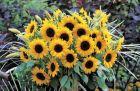 Sunrich Orange Summer (Helianthus)