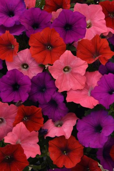 Petunia Easy Wave Coral Reef  Annual Seeds