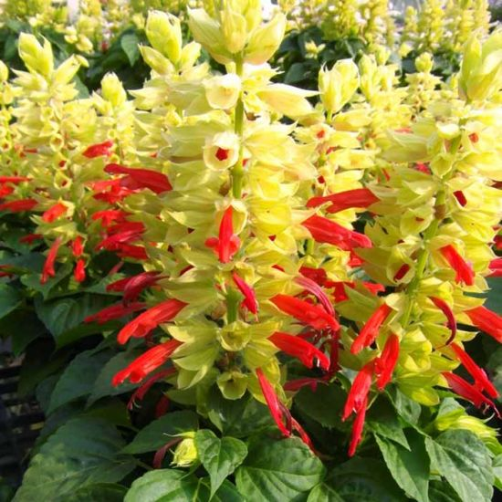 Mojave Red White Bicolor Red Salvia Dwarf Stokes Seeds