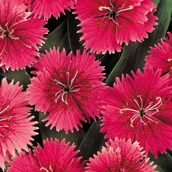 Ideal Select Raspberry Dianthus Stokes Seeds