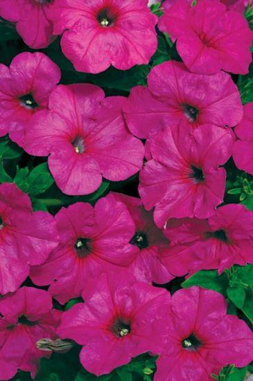 Easy Wave Neon Rose Petunia Multiflora Pelleted Stokes Seeds