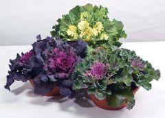 Osaka Mixed (Flowering cabbage)