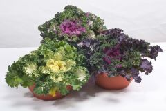 Nagoya Mix (Flowering Kale)