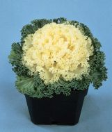 Nagoya White (Flowering Kale)