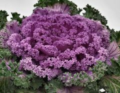 Nagoya Rose (Flowering Kale)