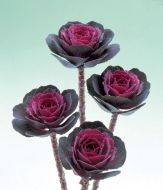 Crane™ Rose (Flowering Kale)