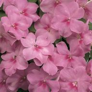 Accent Lavender Blue (Impatiens)