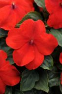 Super Elfin XP Scarlet (Impatiens)