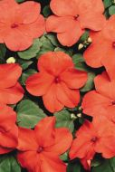 Super Elfin XP Punch (Impatiens)