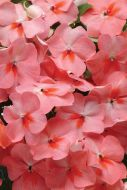 Super Elfin XP Salmon Splash (Impatiens)