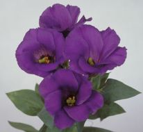 Mermaid Blue Lisianthus (Hybrid/dwarf/pellets)